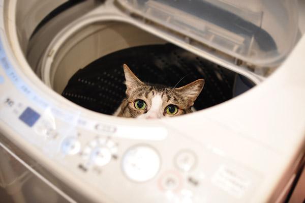 洗濯機から顔を出す猫